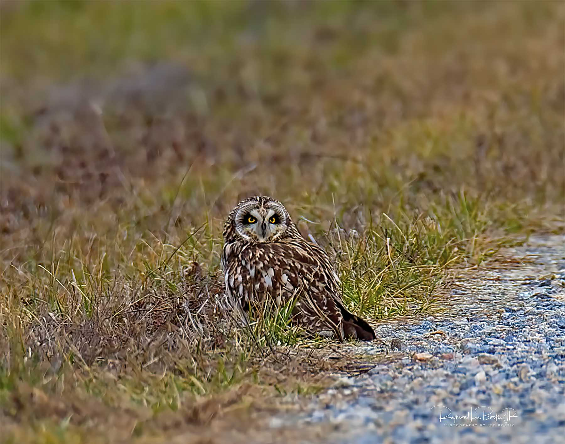 Short_eared_Owl_2