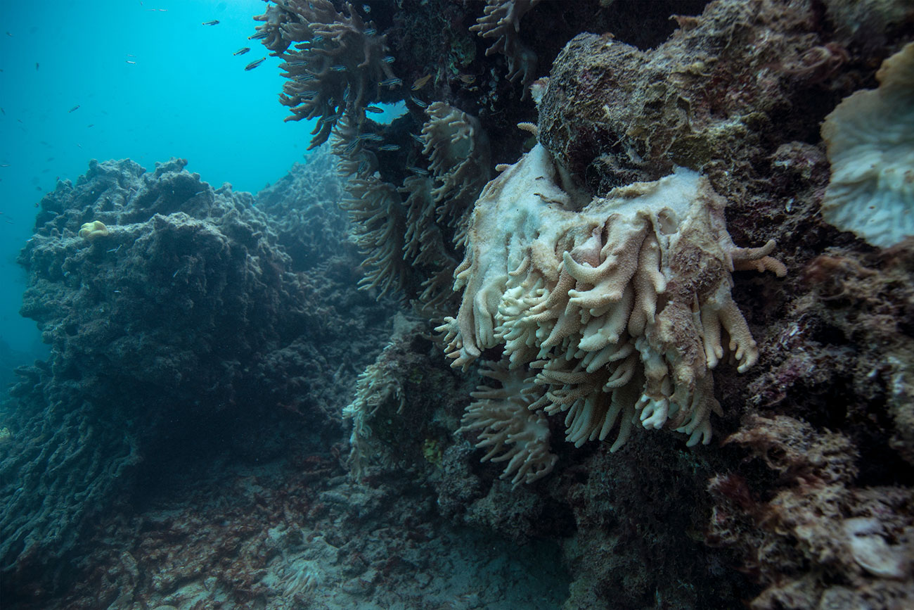 Coral bleaching in the Great Barrier Reef. Photo:Photograph: the  Ocean Agency via The Guardian.