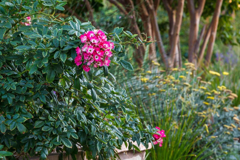 Encino Calvert Rose spilling out of planter.jpg