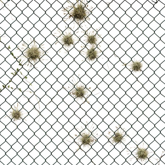 Tillandsia Recurvata - Chain Link by Ansen Seale