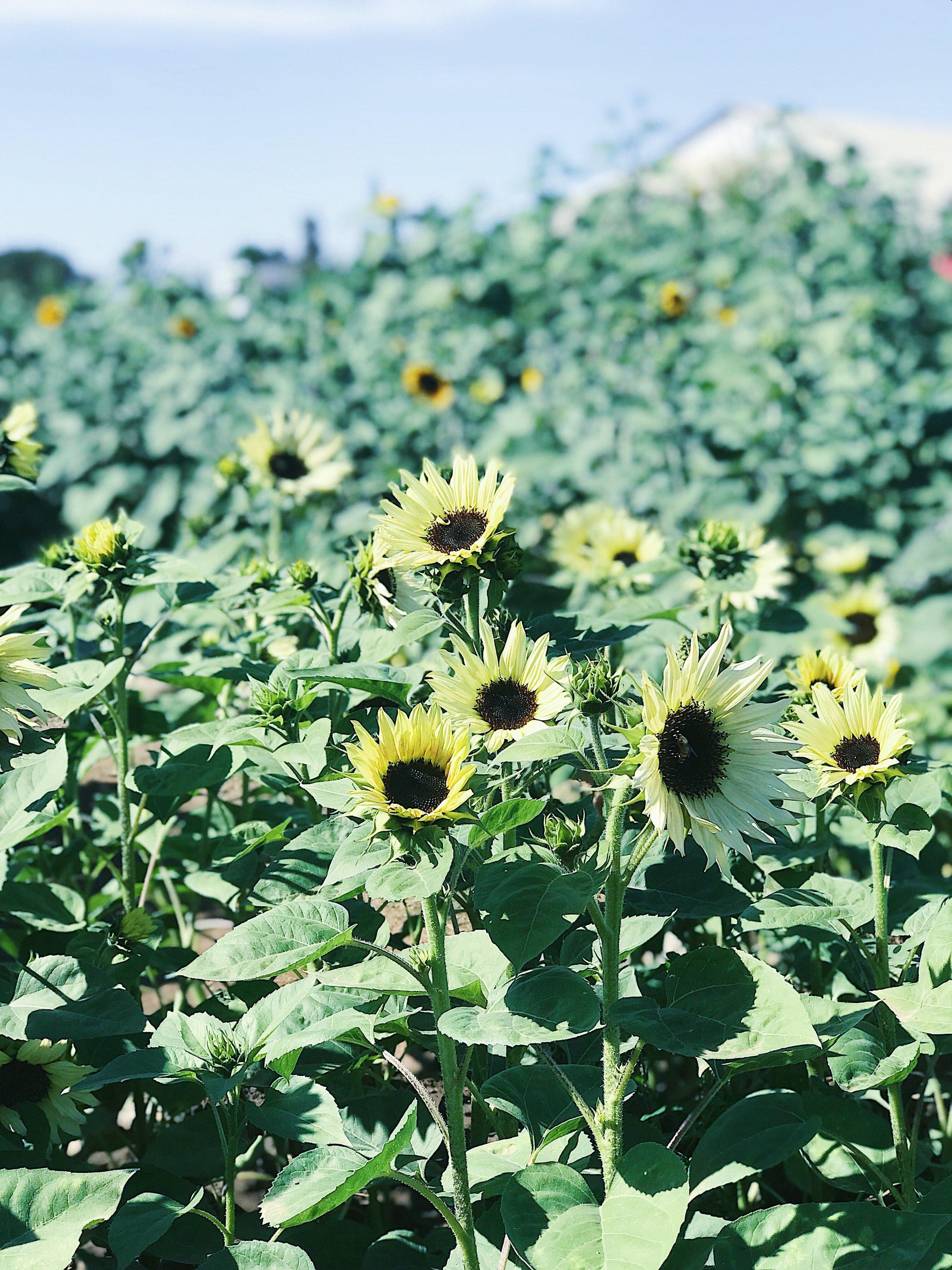 multi sunflowers.jpg