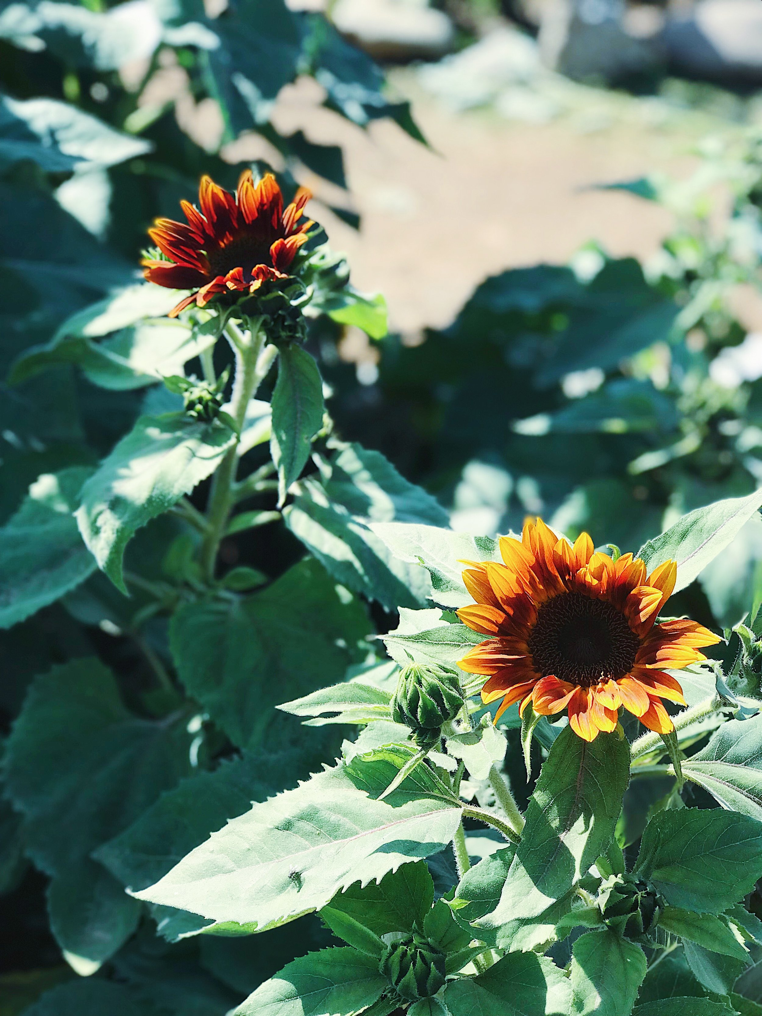 colored sunflowers.jpg