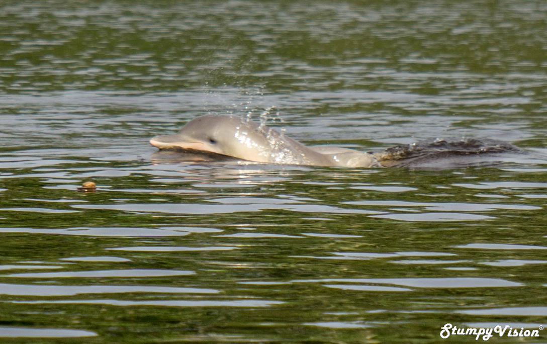 Pink Dolphins Puerto Narino Amazon Colombia Travel Blog 2.jpg