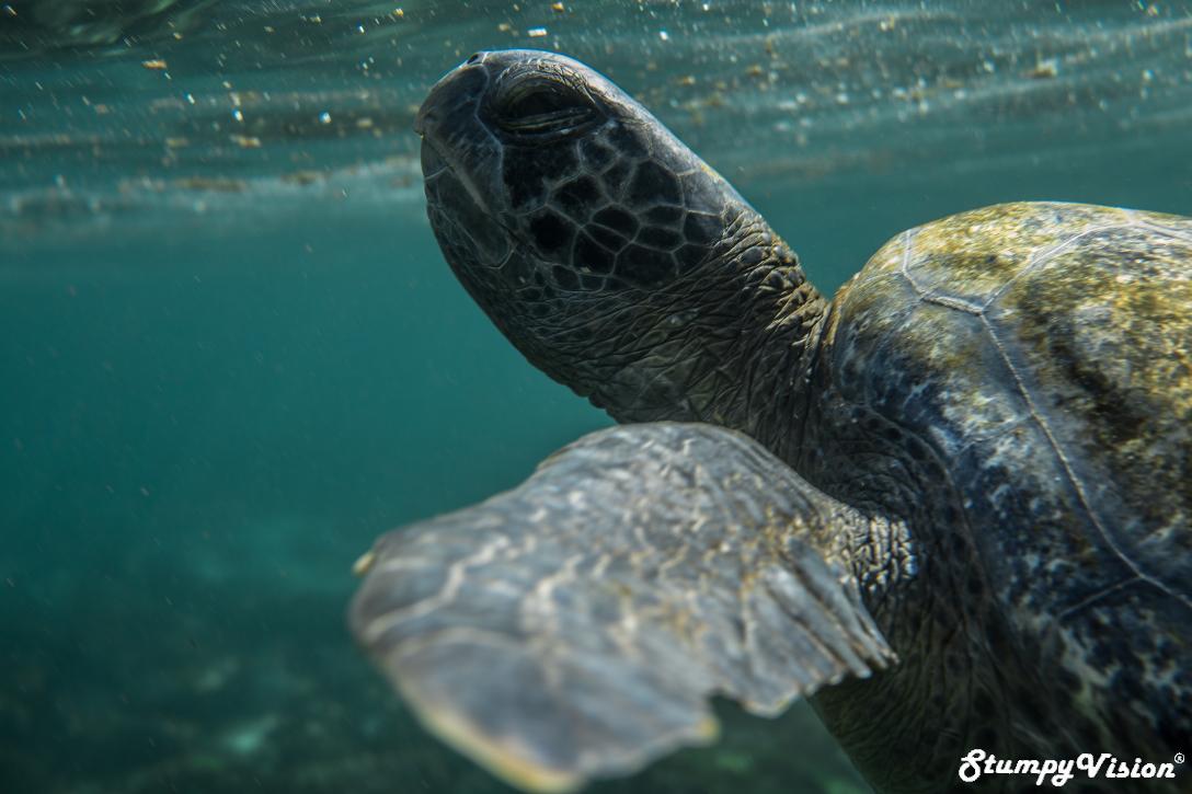 Galapagos Ecuador Surf Blog Stumpy Vision Sea Turtle.jpg