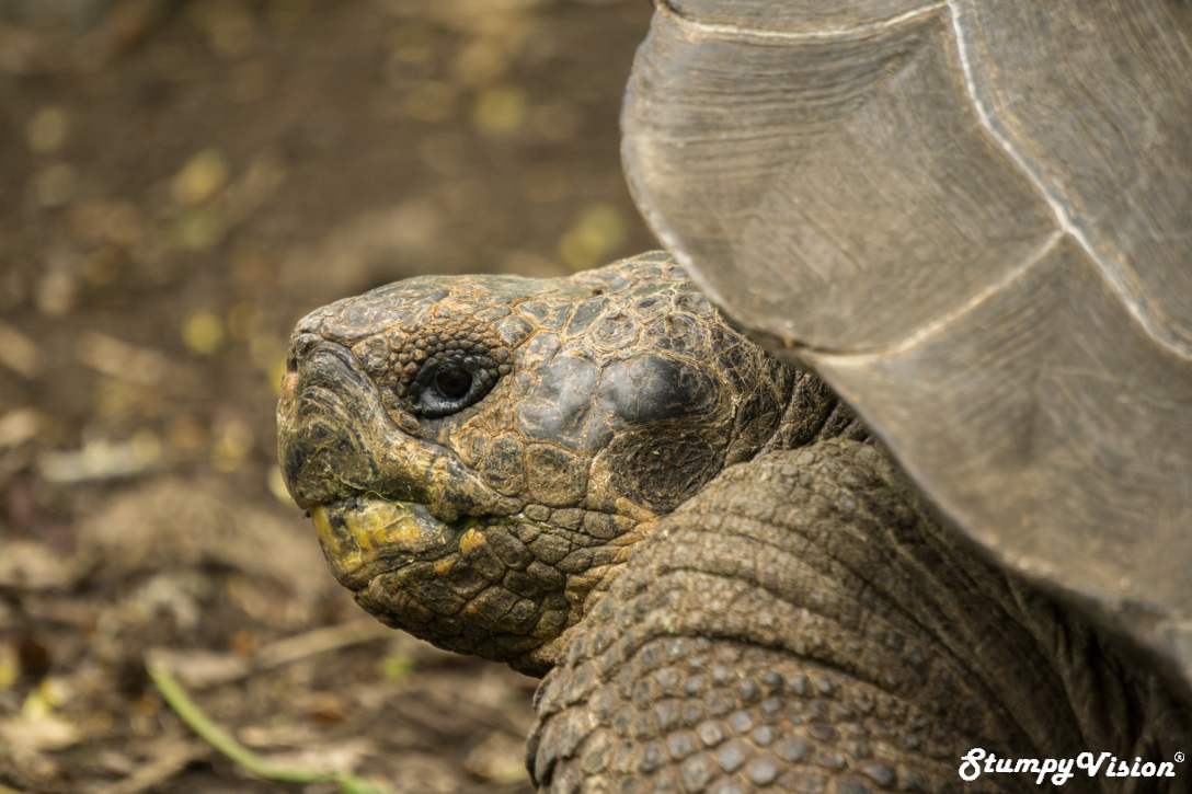 Galapagos Ecuador Surf Blog Stumpy Vision Tortoise.jpg