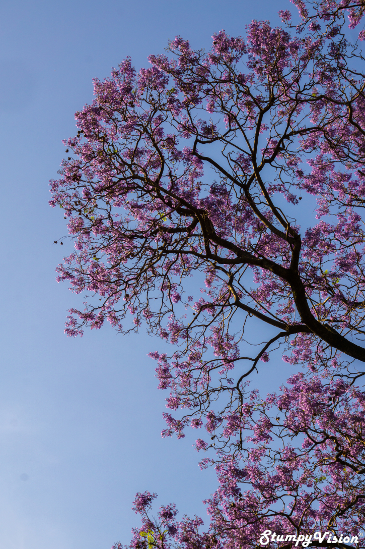 The beautiful flowers of the Pink Lapacho (Trumpet) tree can be viewed throughout BA