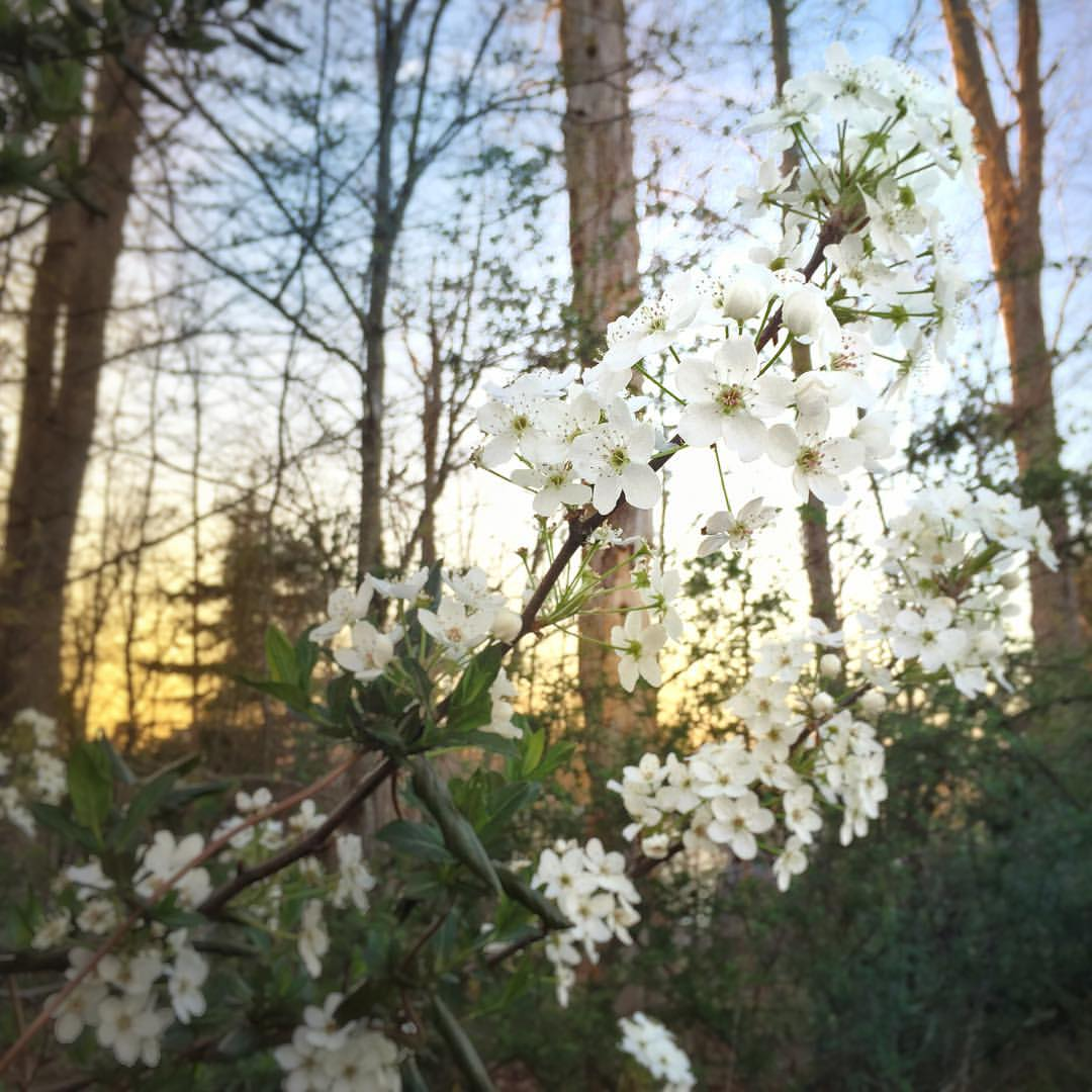 Bradford pear blossoms are virtually indistinguishable from...