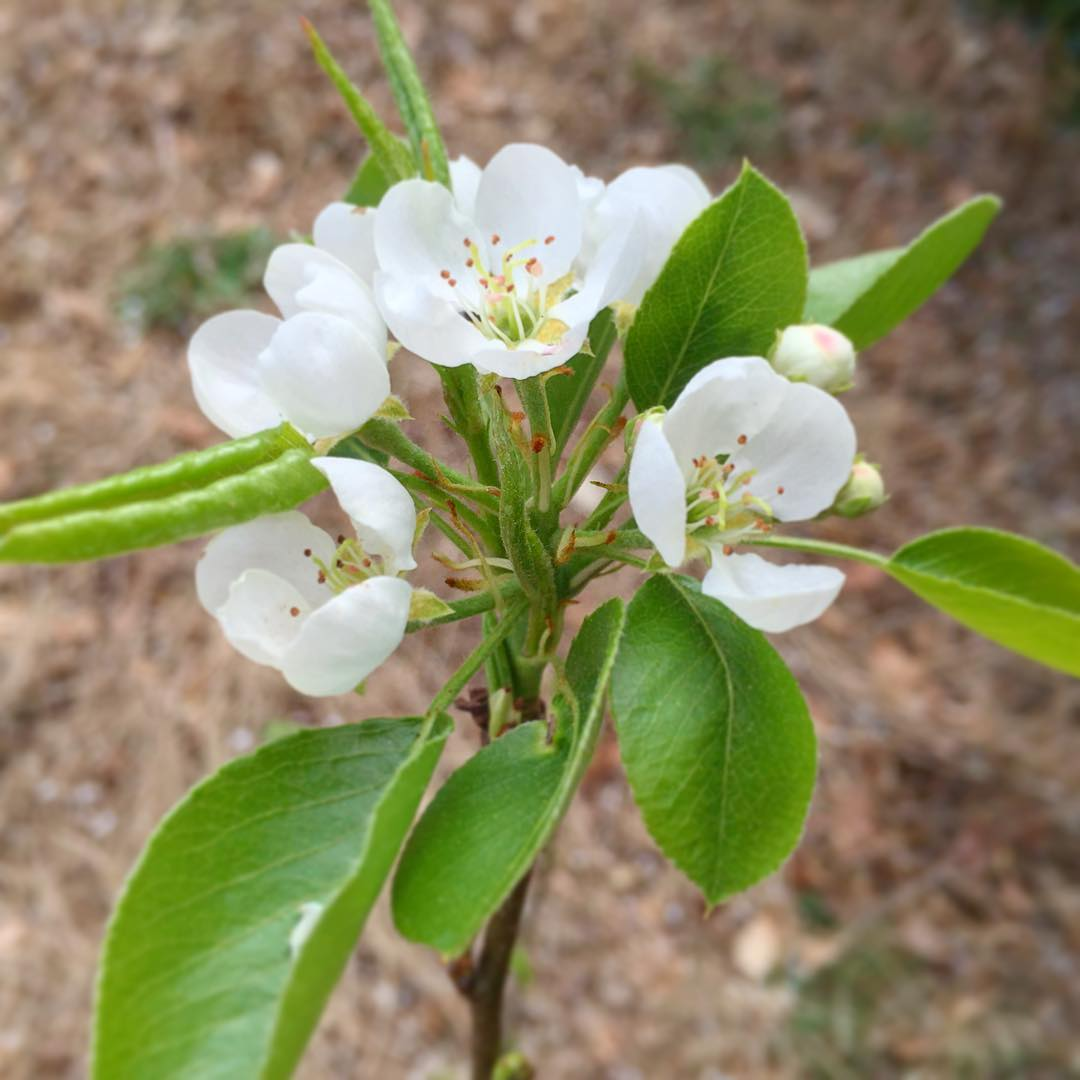 ...actual pear blossoms.