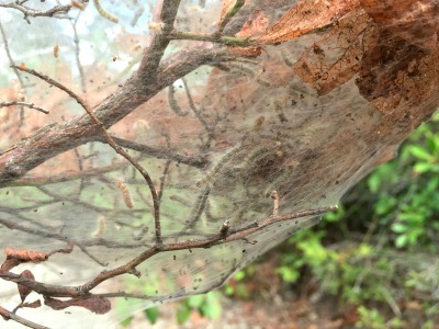 they're actually caterpillar nests.