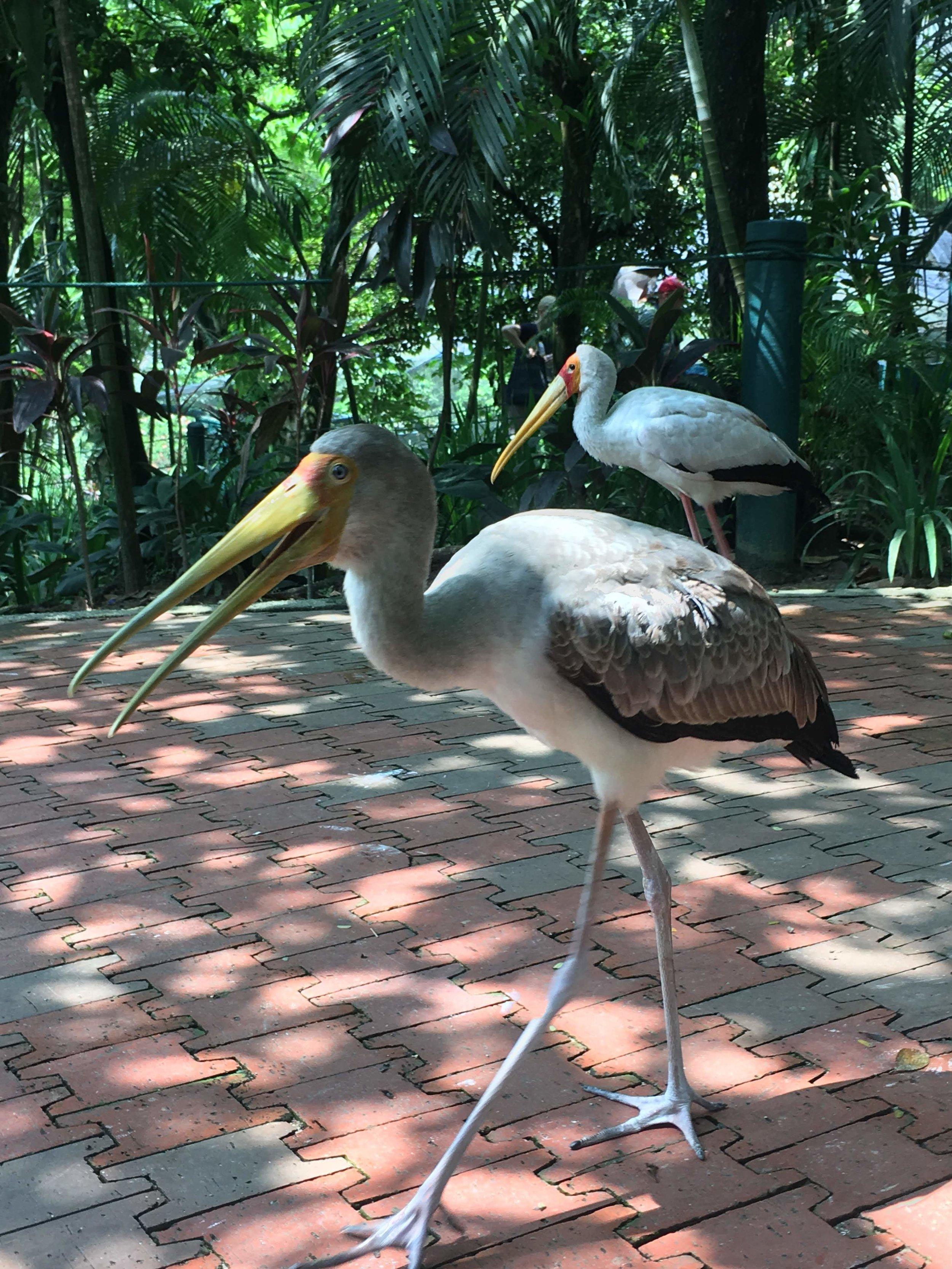 wild cranes at KL Bird Park, Malaysia