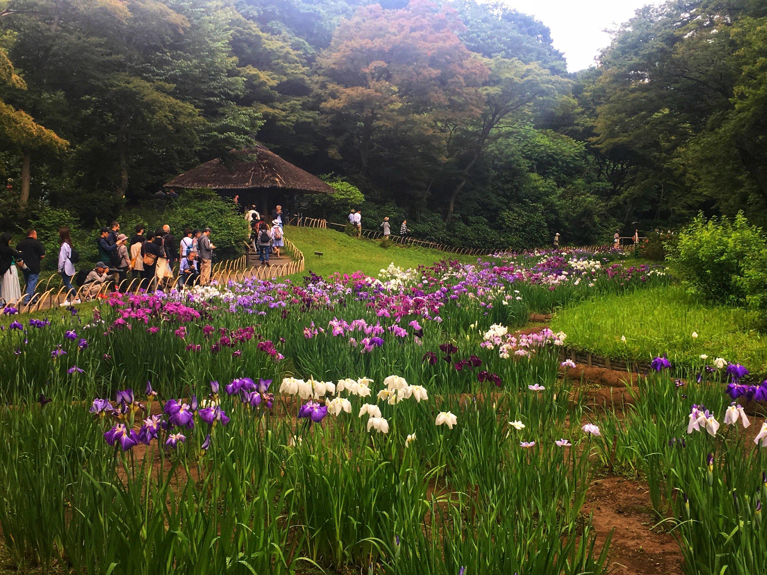 Meiji Shrine's famous iris garden