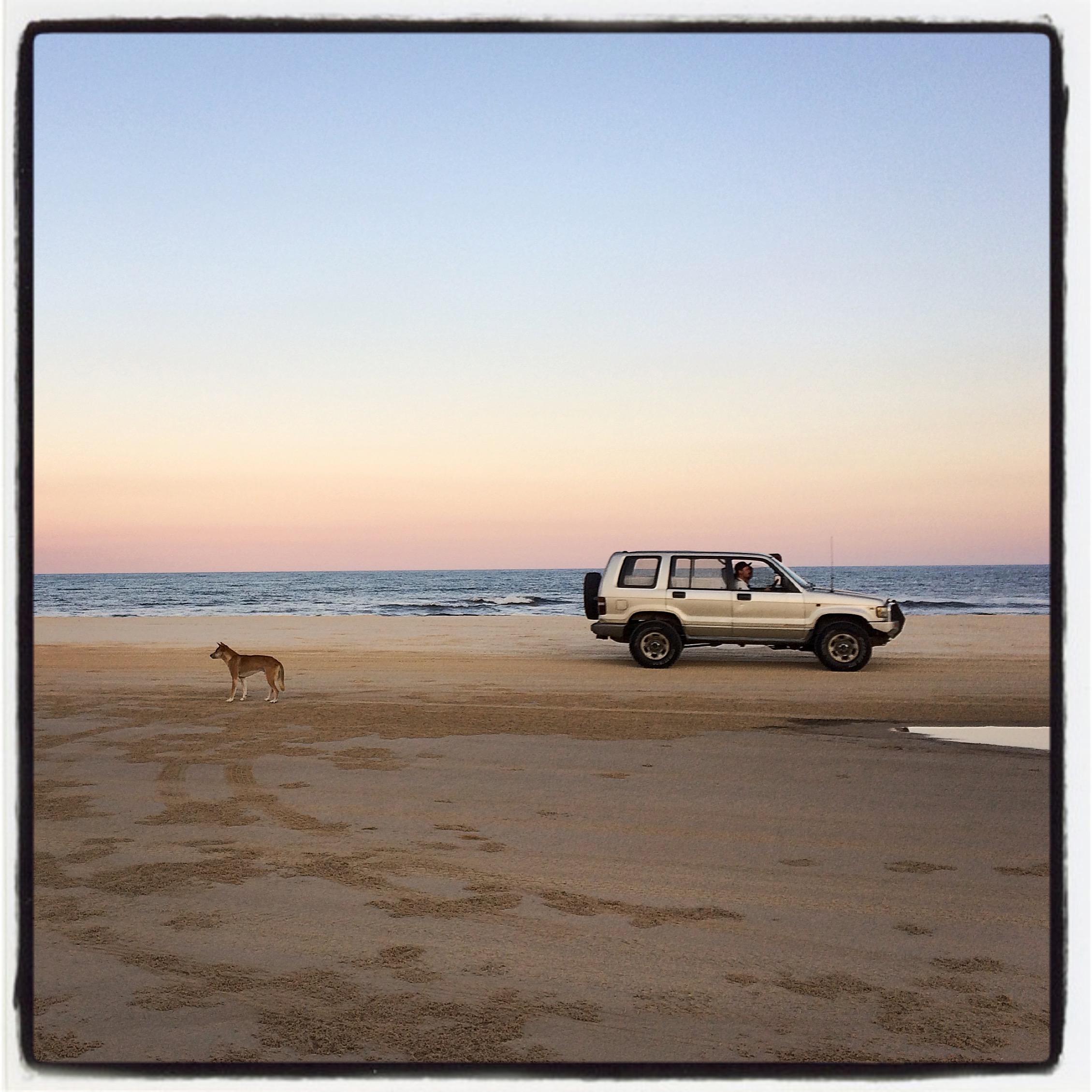 Dingo on Fraser