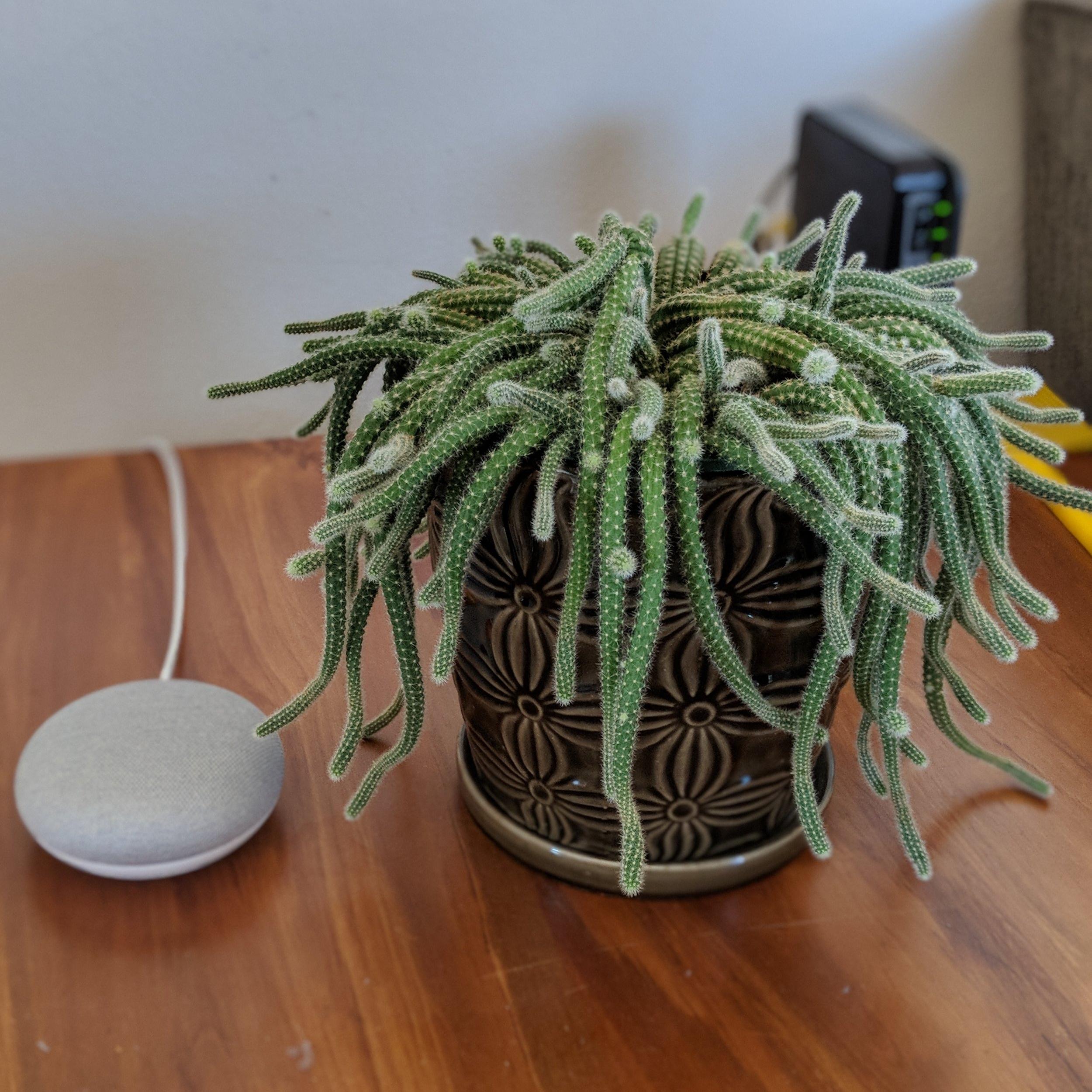 Google Home Mini and Cactus Marley