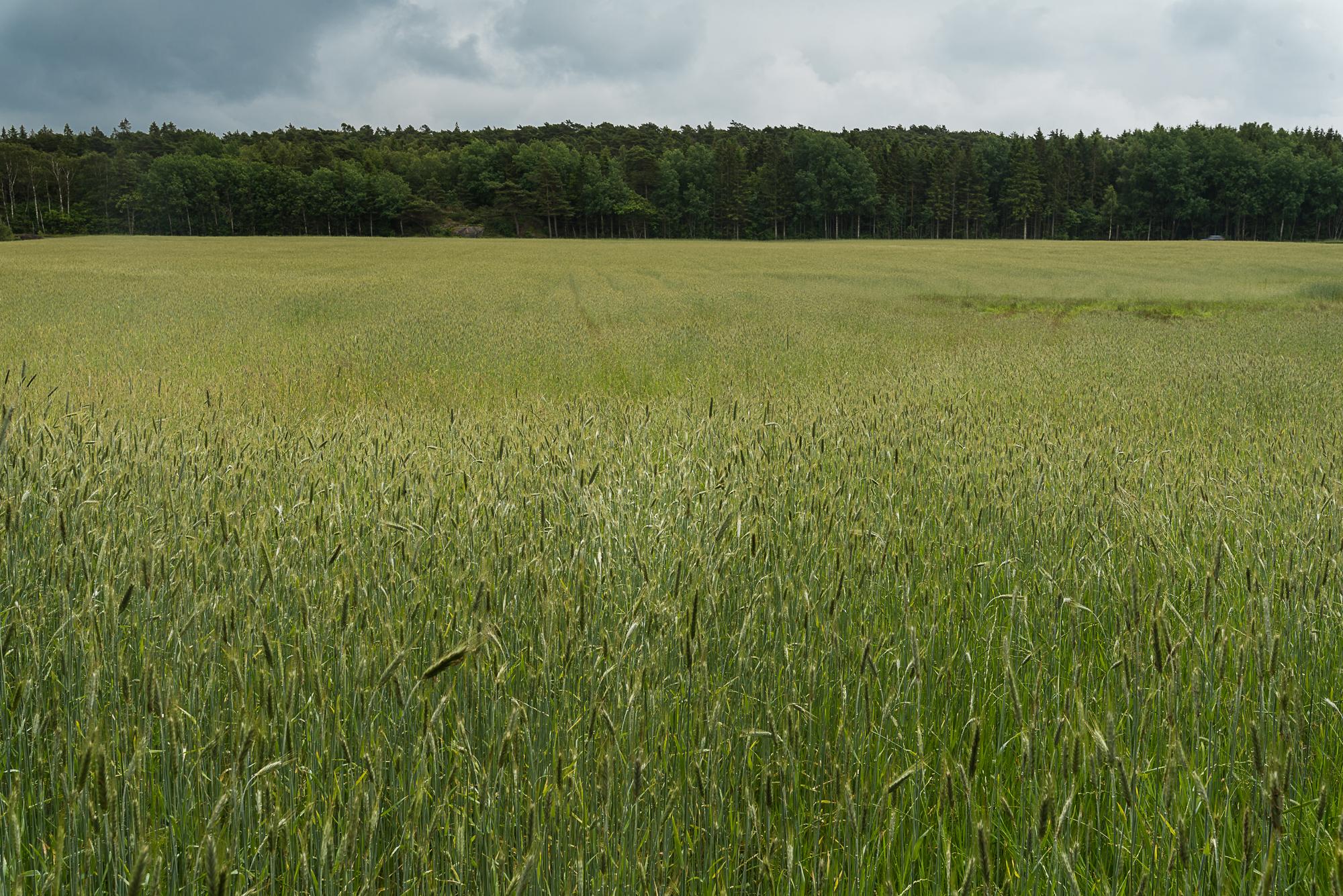 Barley-DSC_2970-©Bjørn Joachimsen.jpg