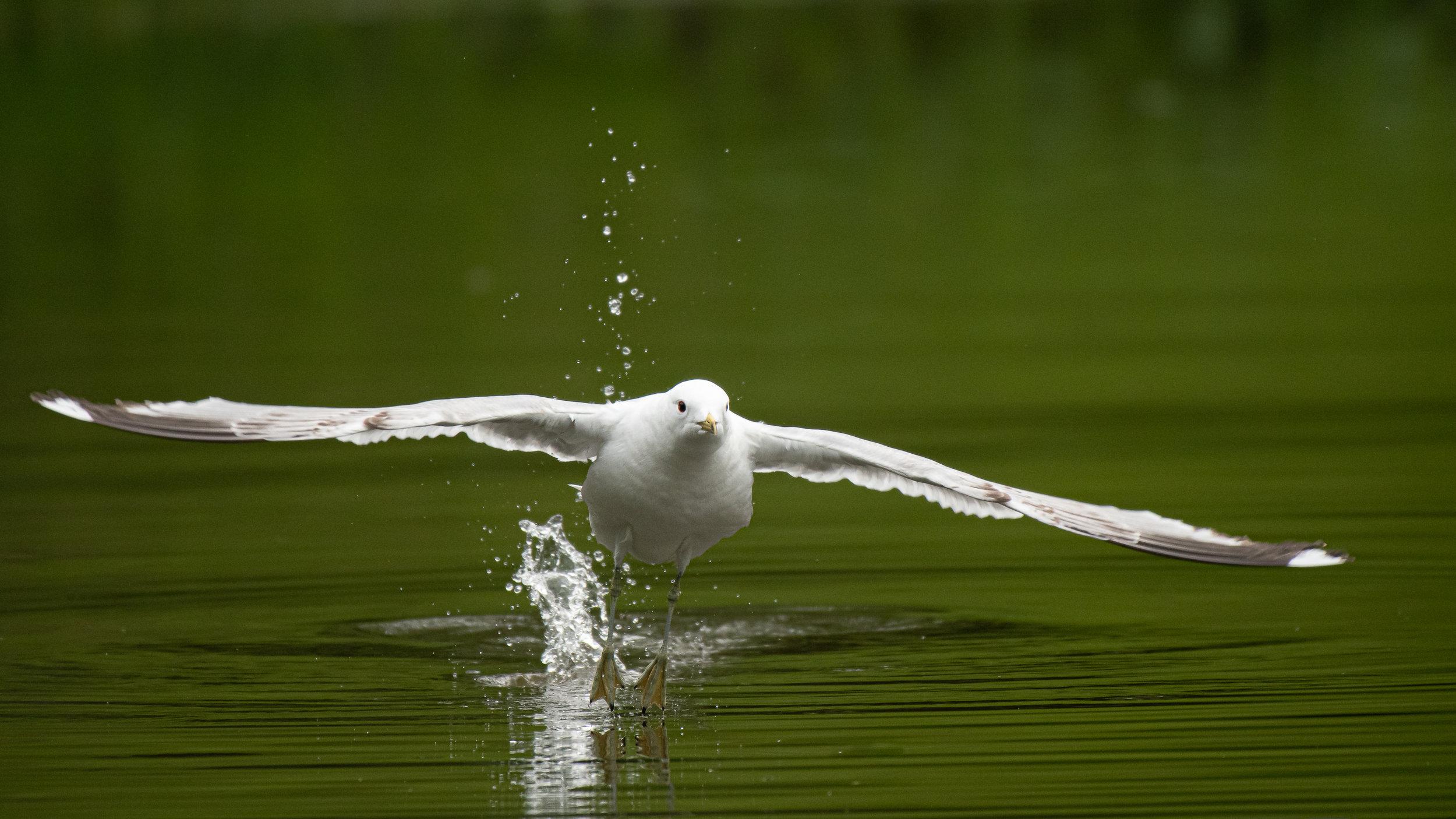 Lær hvordan du tar bilder av fugler i flukt. ©Bjørn Joachimsen.