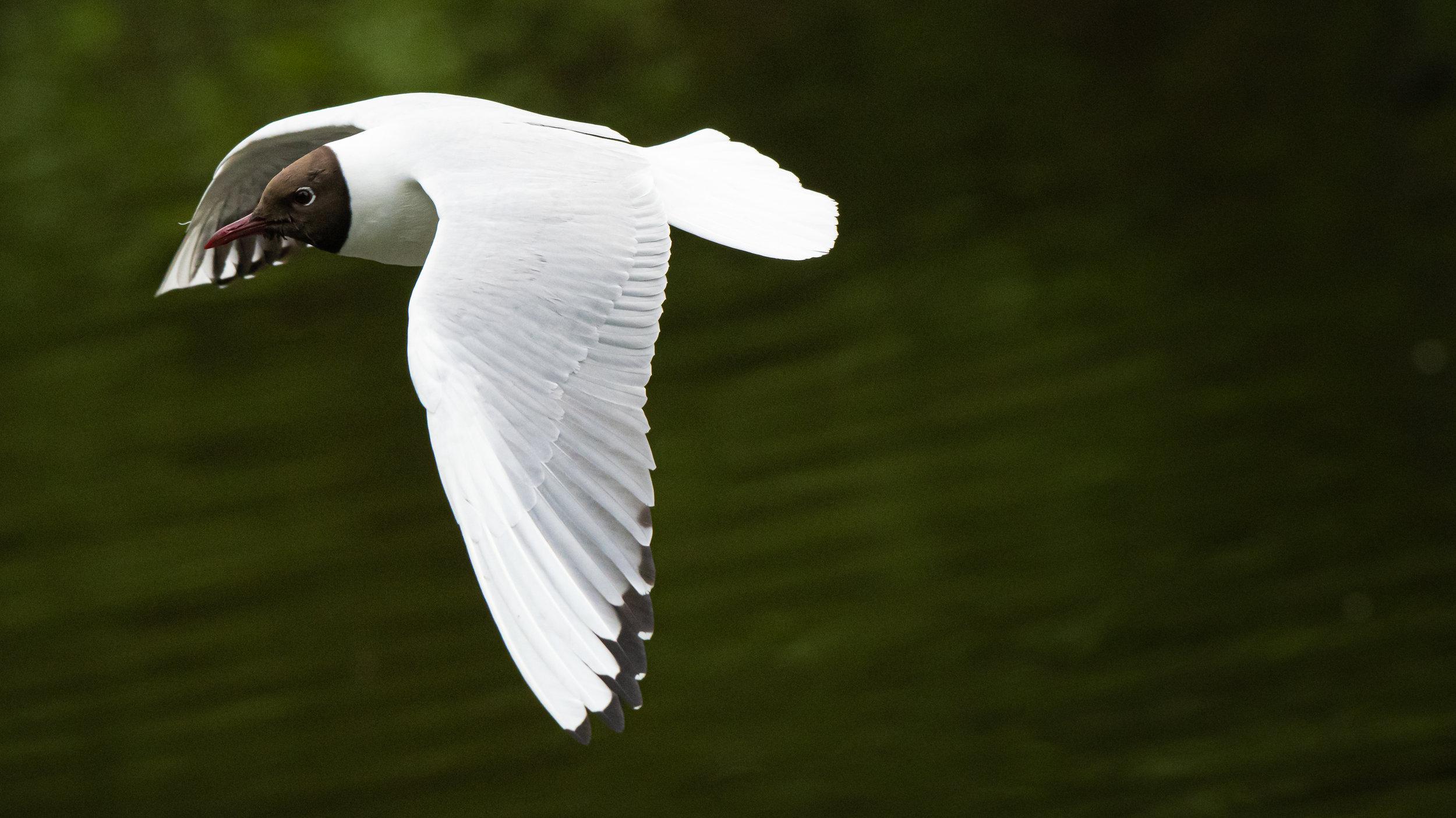 Lær å ta bilder av fugler i flukt. ©Bjørn Joachimsen