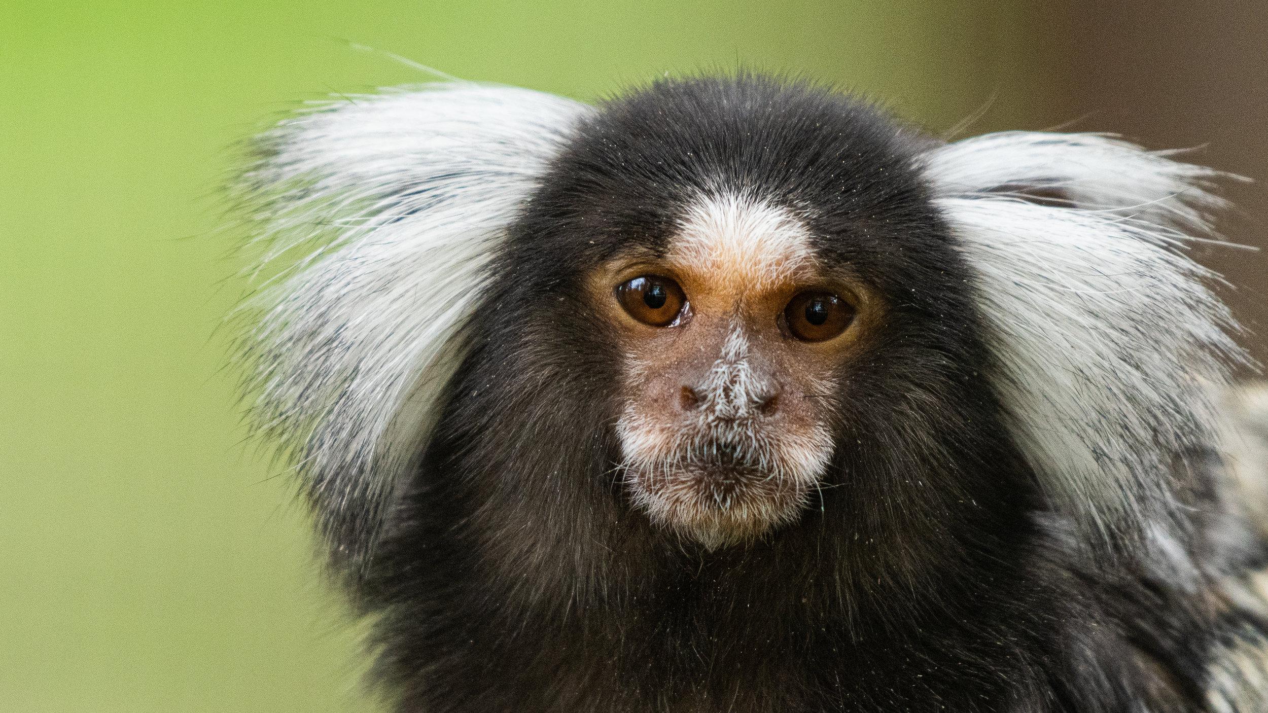 Hvitørede silkeaper er blant de mange artene du kan fotografere på Tangen dyrepark under workshopen. ©Bjørn Joachimsen