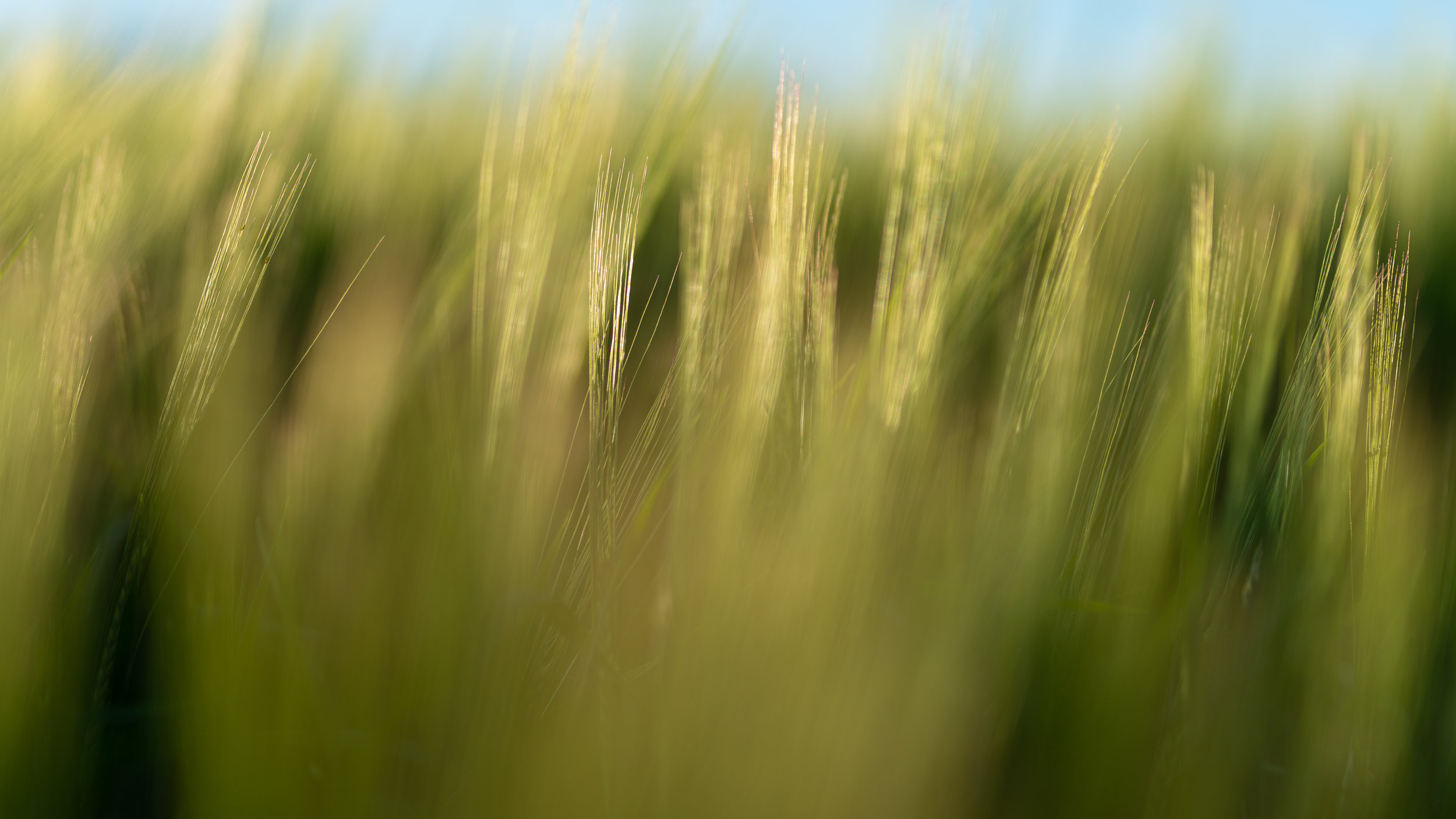 Barley-_DSC7753-©Bjørn Joachimsen.jpg