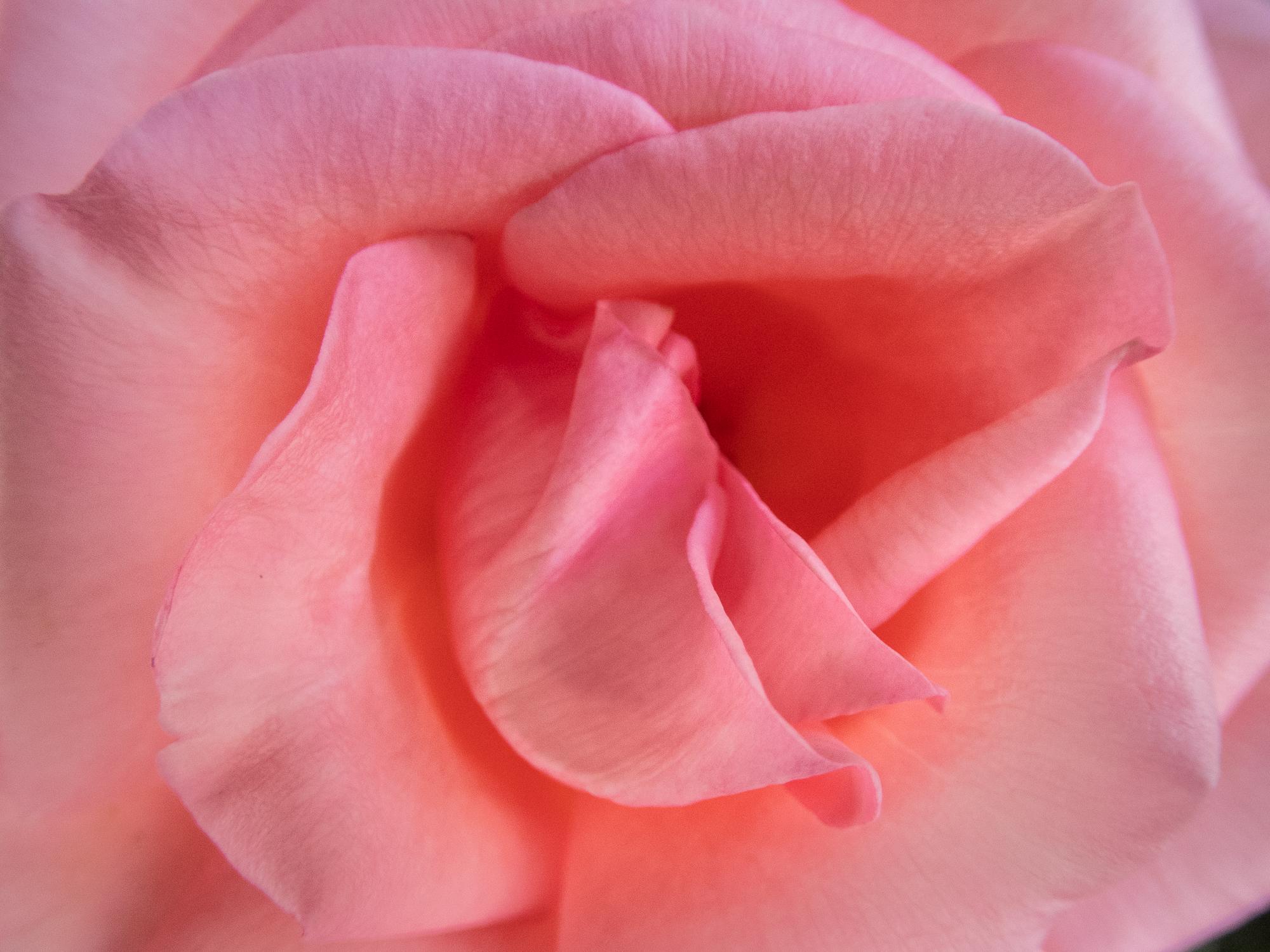 Rose, Nøtterøy-P6150418.jpg