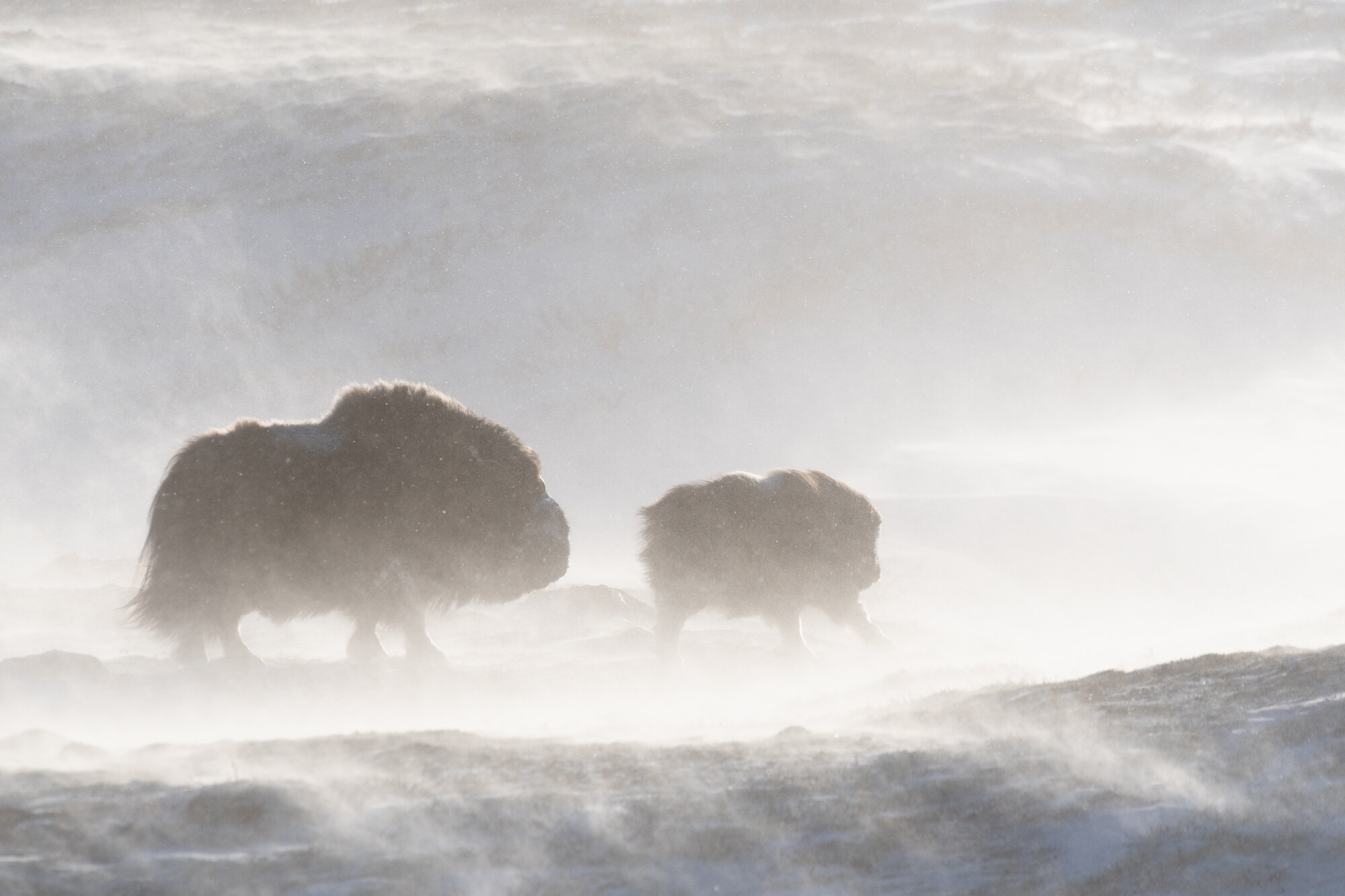 Moskus på Dovre. ©Bjørn Joachimsen.