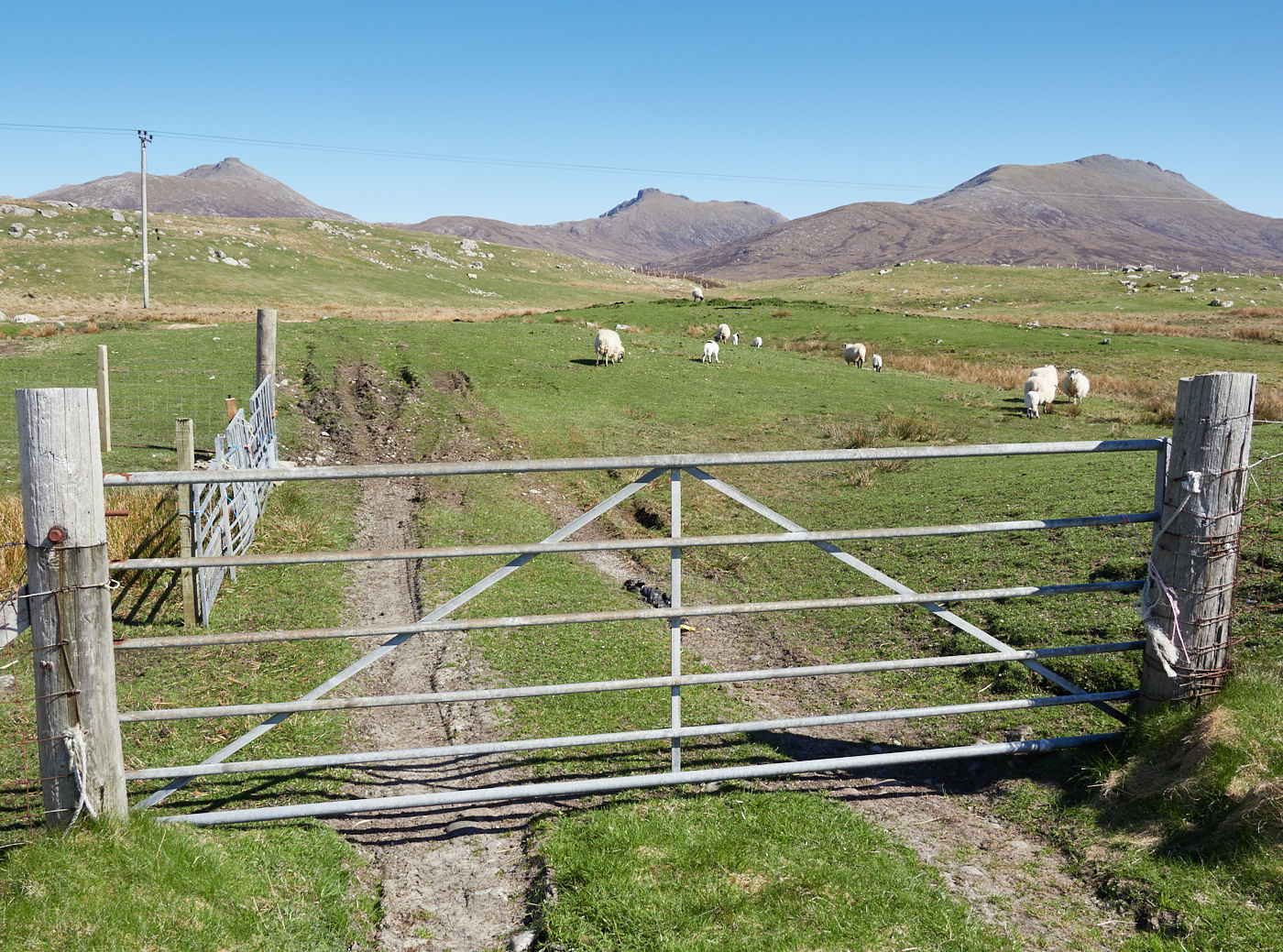 Sheep on the moor MF 3.jpg