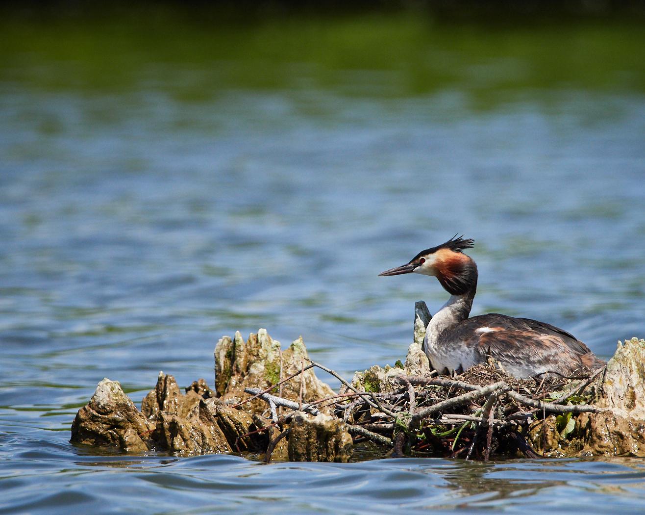 Grebe on nest.jpg