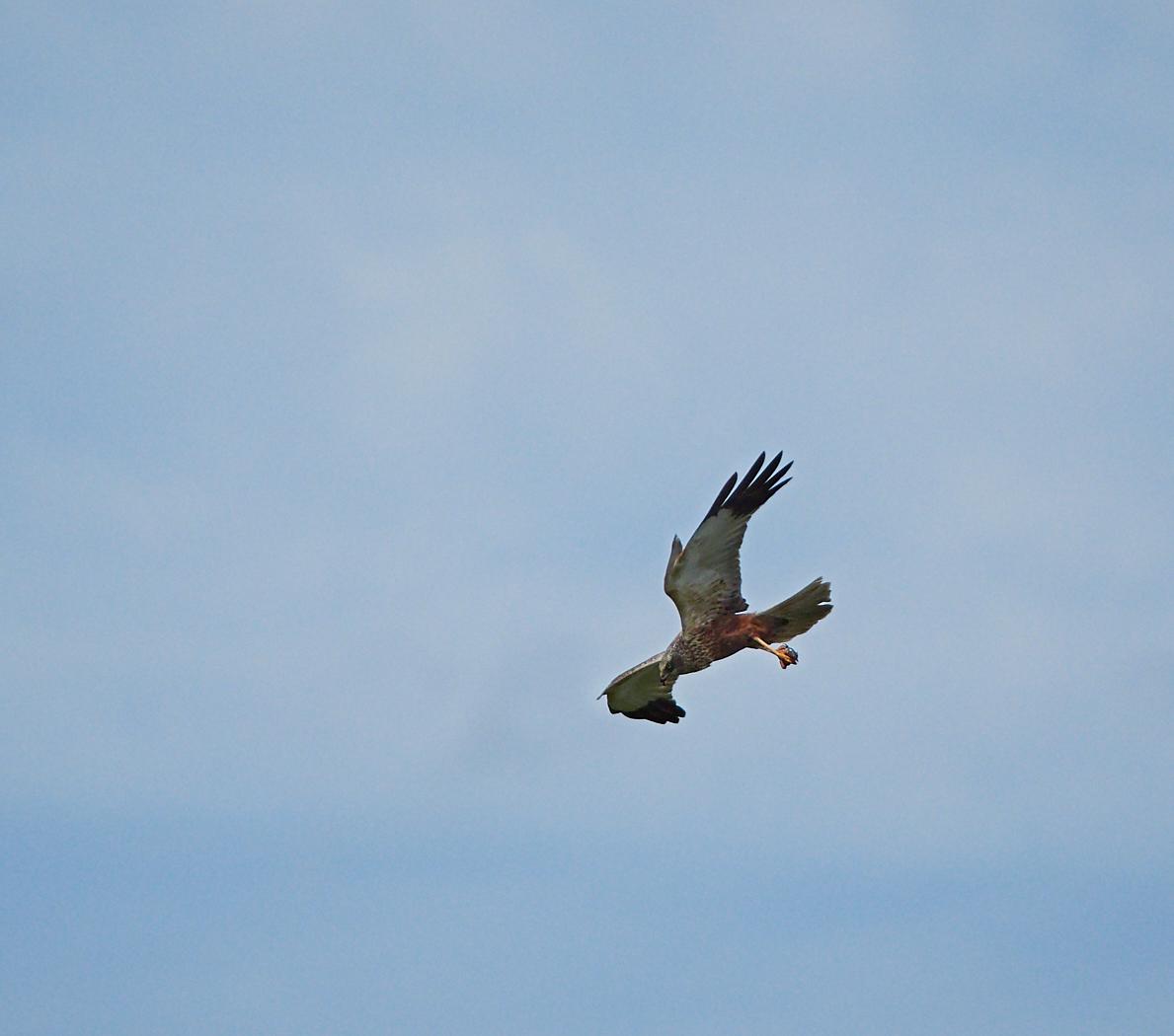 Harrier approaching nest with prey.jpg