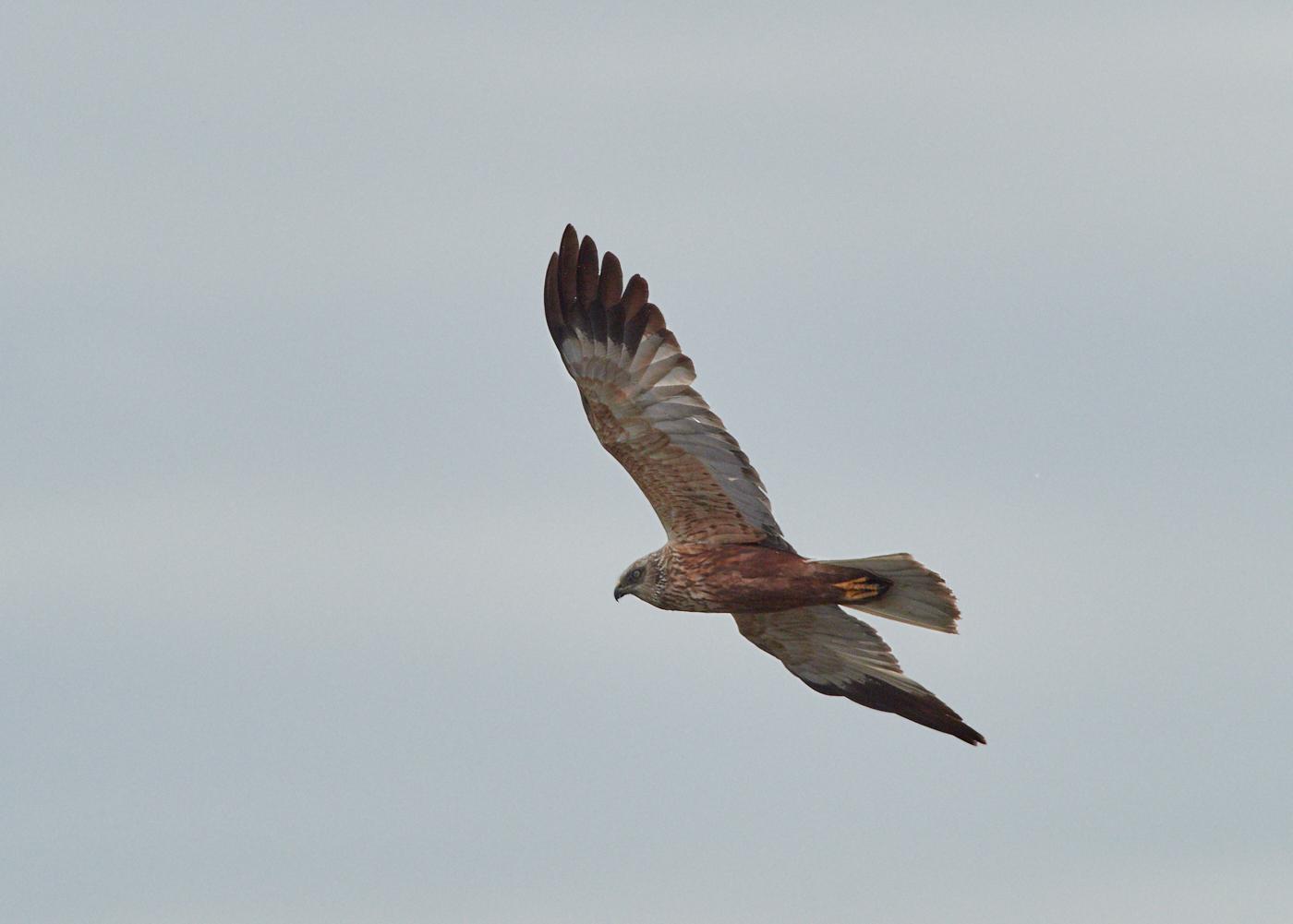 Marsh Harrier 1.jpg