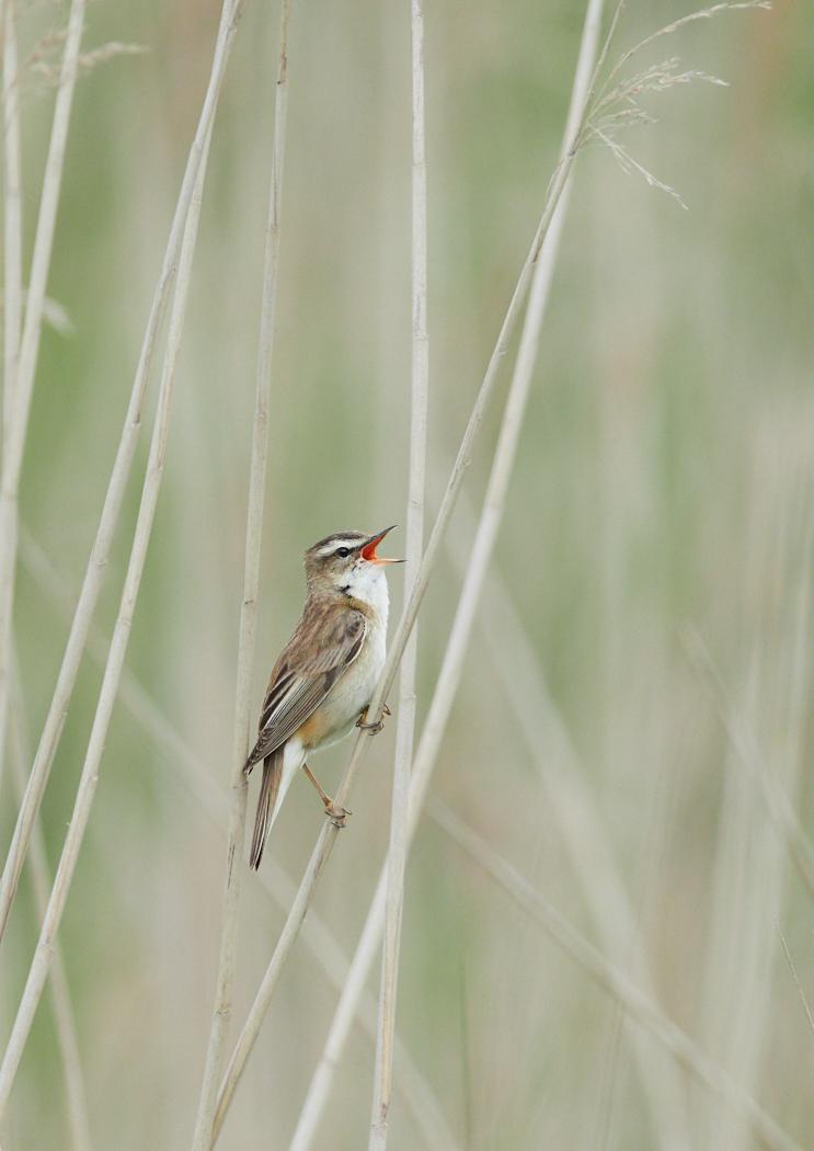 Sedge warbler.jpg