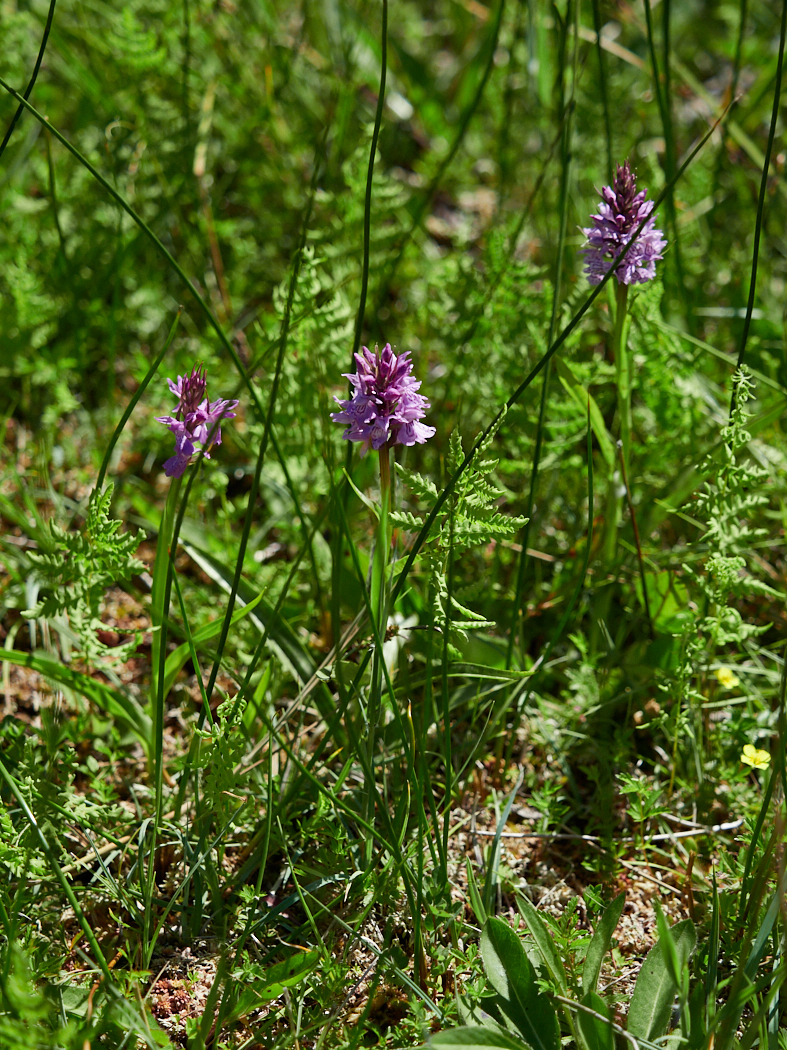Southern marsh orchid.jpg