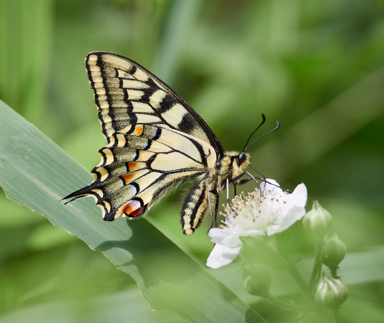 Swallowtail on bramble.jpg