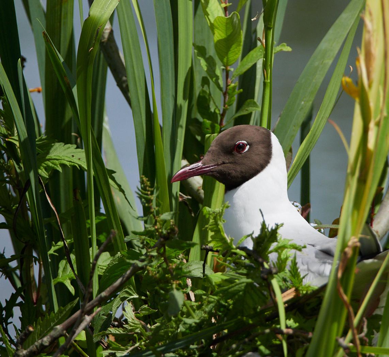 Tern in the greenery.jpg