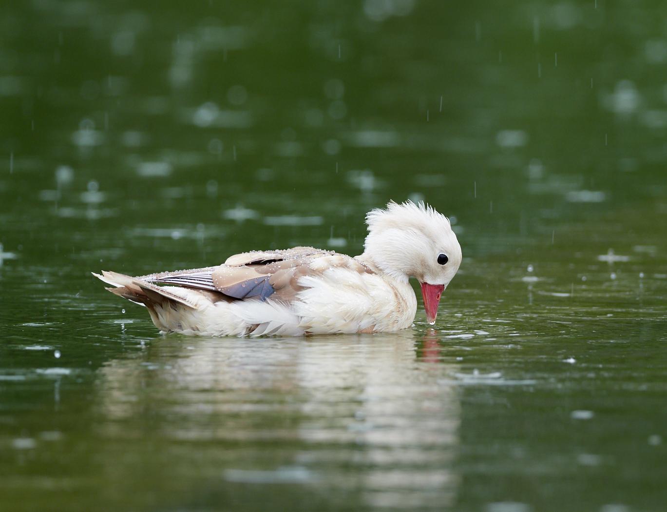 Duck2 in the rain1400x1050 sRGB.jpg