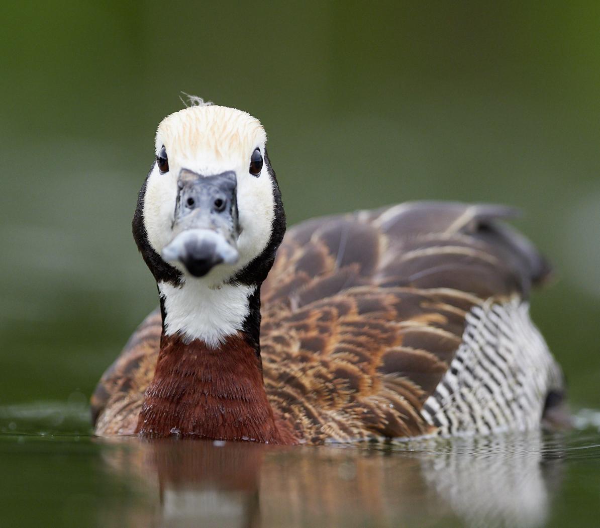 Duck1400x1050 sRGB 8.jpg