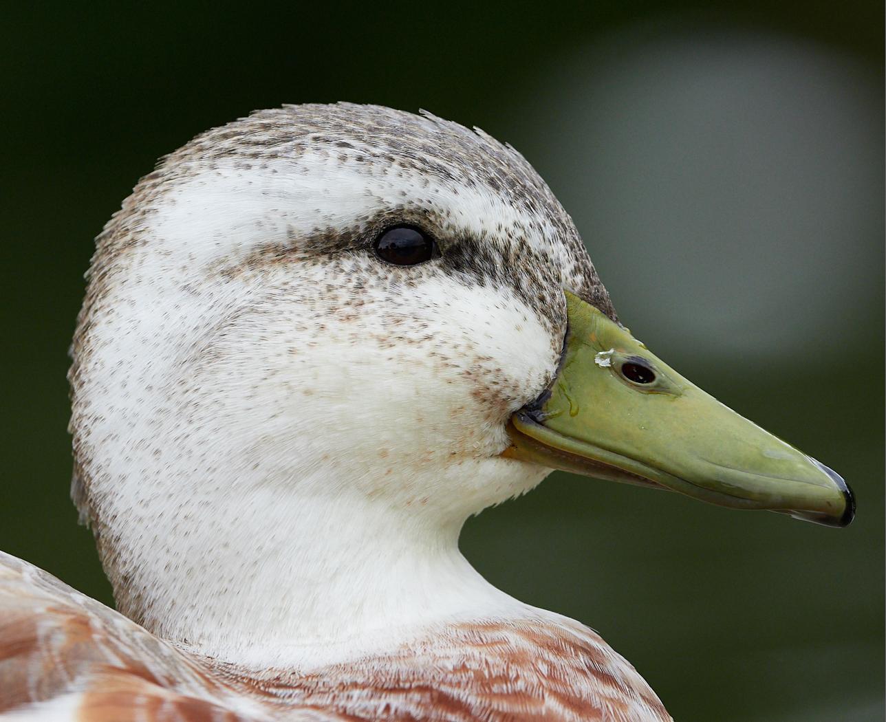 Duck1400x1050 sRGB 10.jpg
