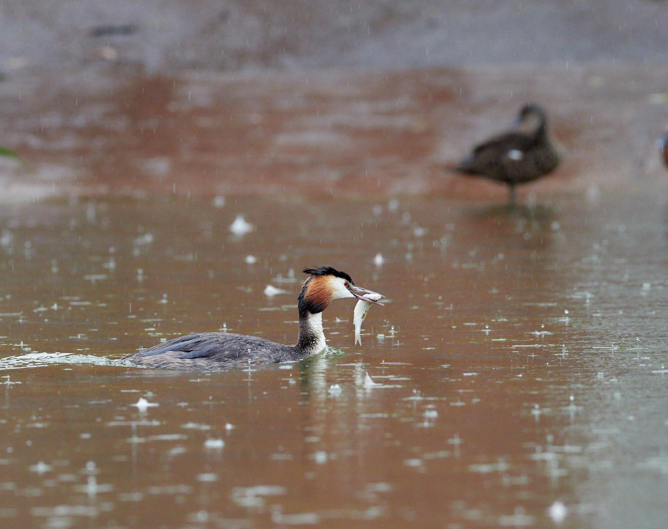Grebe and fish in the rain1400x1050 sRGB.jpg
