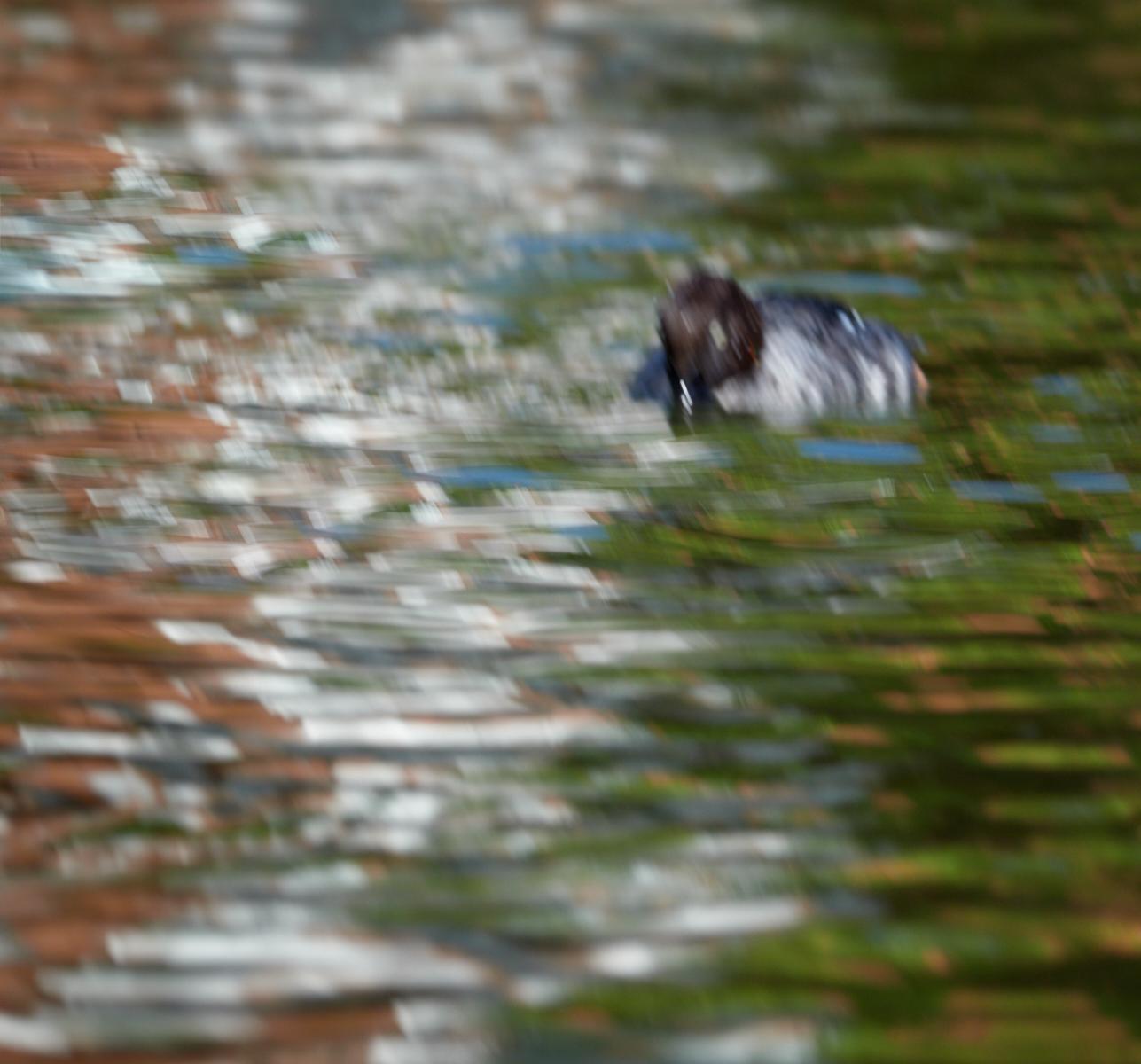 Duck focus1600x1200 sRGB.jpg