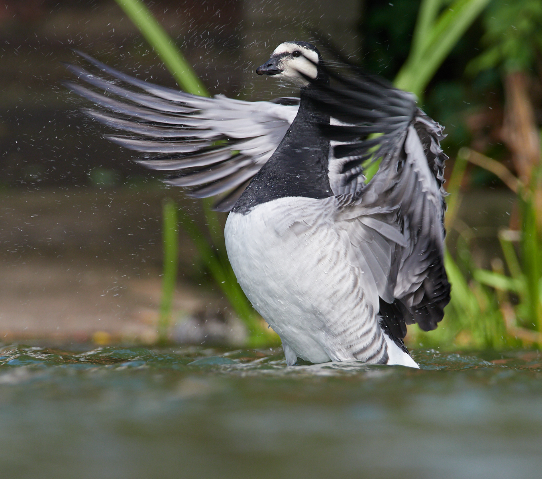 Barnacle Goose1600x1200 sRGB 1.jpg