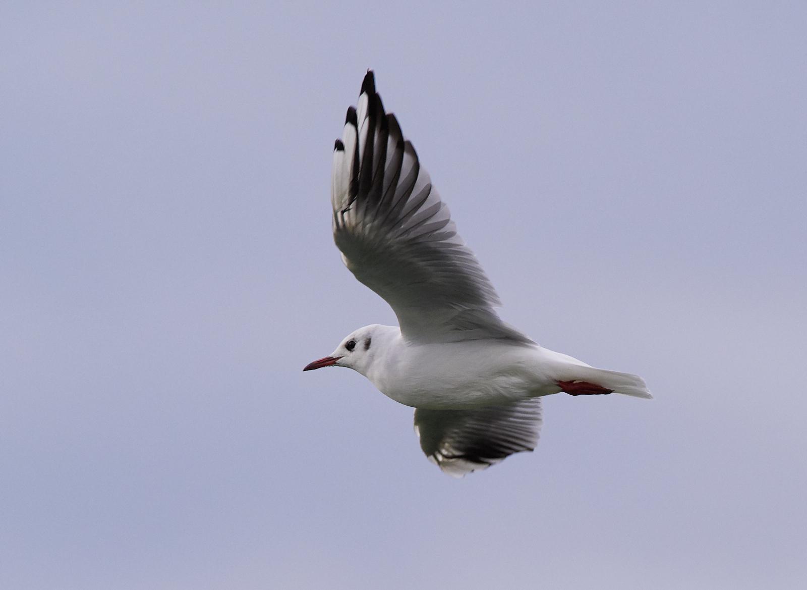 Black headed gull1600x1200 sRGB.jpg