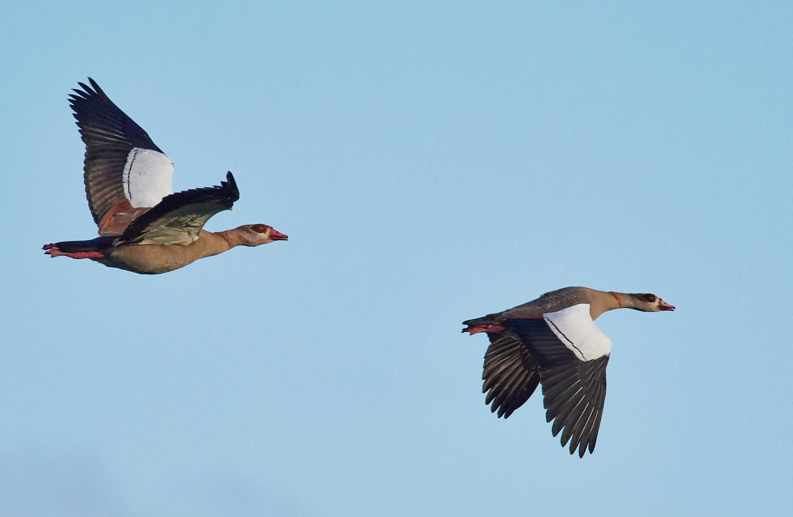 Egyptian geese1600x1200 sRGB.jpg
