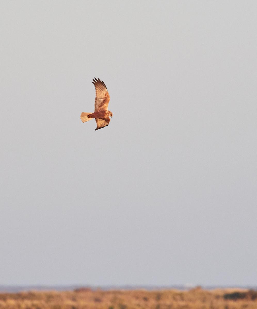 Marsh harrier1600x1200 sRGB 4.jpg