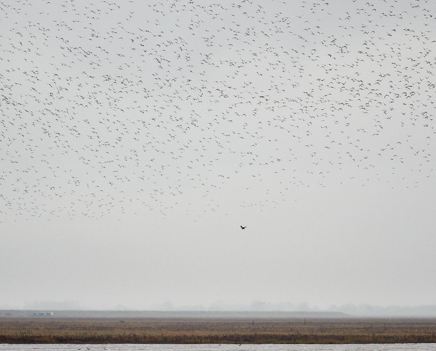Murmuration and marsh harrier1600x1200 sRGB.jpg
