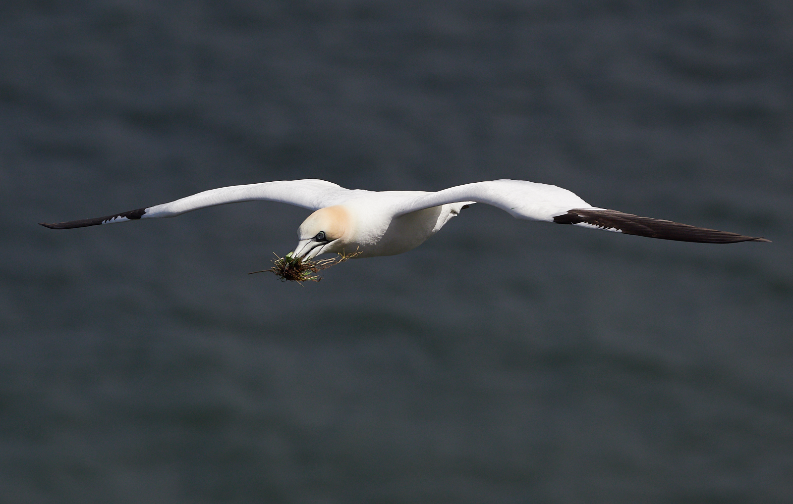 Gannet in flight with nesting material1600x1200 sRGB.jpg