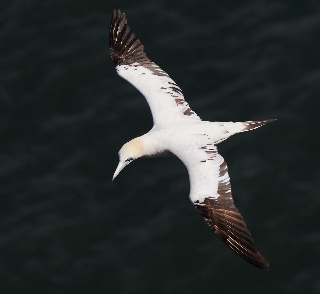 Gannet in flight1600x1200 sRGB 1.jpg