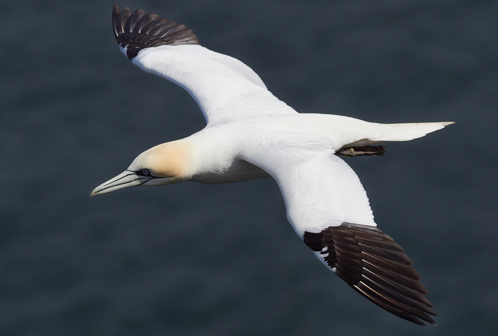 Gannet in flight1600x1200 sRGB 2.jpg