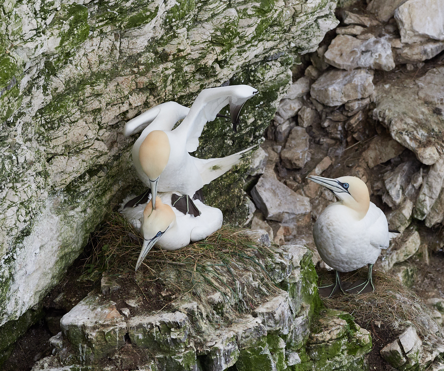 Gannet procreation1600x1200 sRGB.jpg
