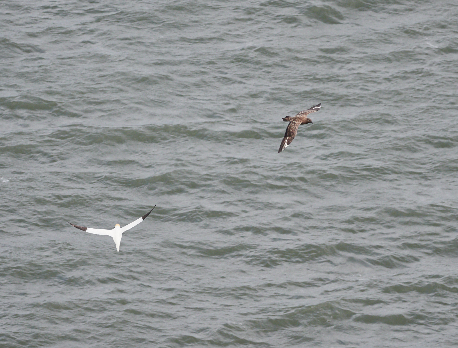 Giant skua with gannet1600x1200 sRGB.jpg