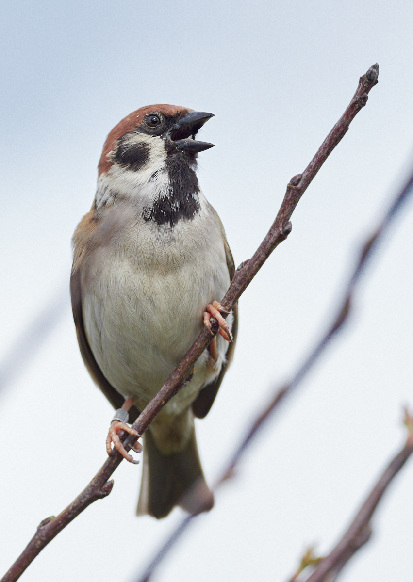 Tree sparrow1600x1200 sRGB 1.jpg