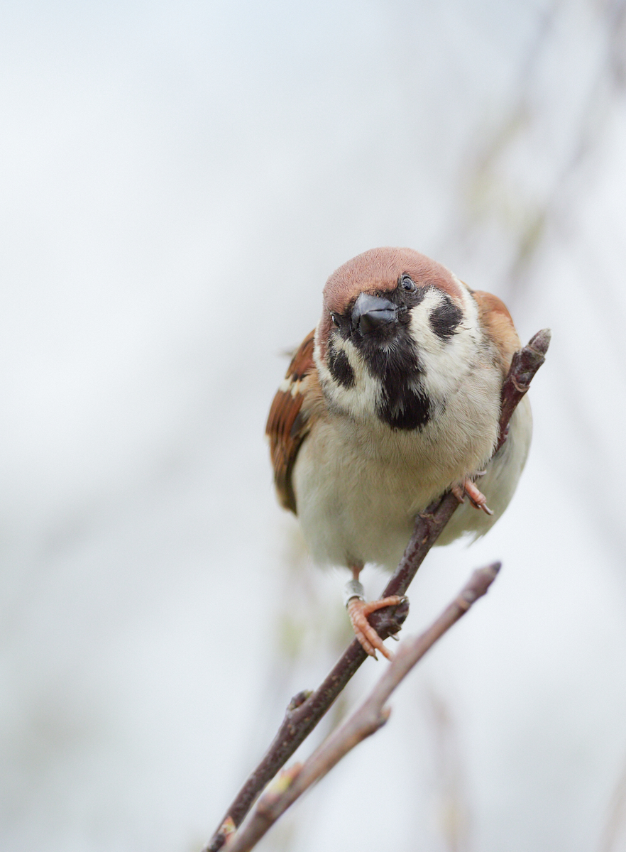 Tree sparrow1600x1200 sRGB 2.jpg