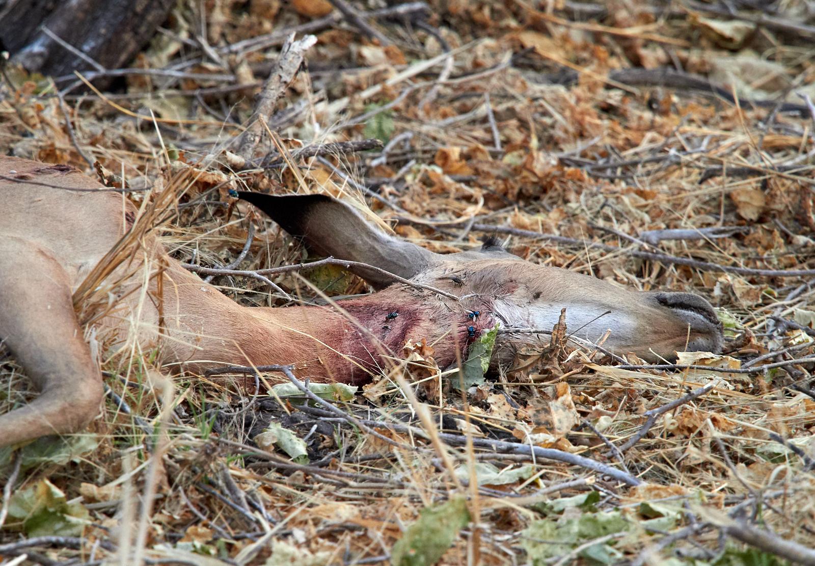 Dead impala 2 1600x1200 sRGB 1.jpg